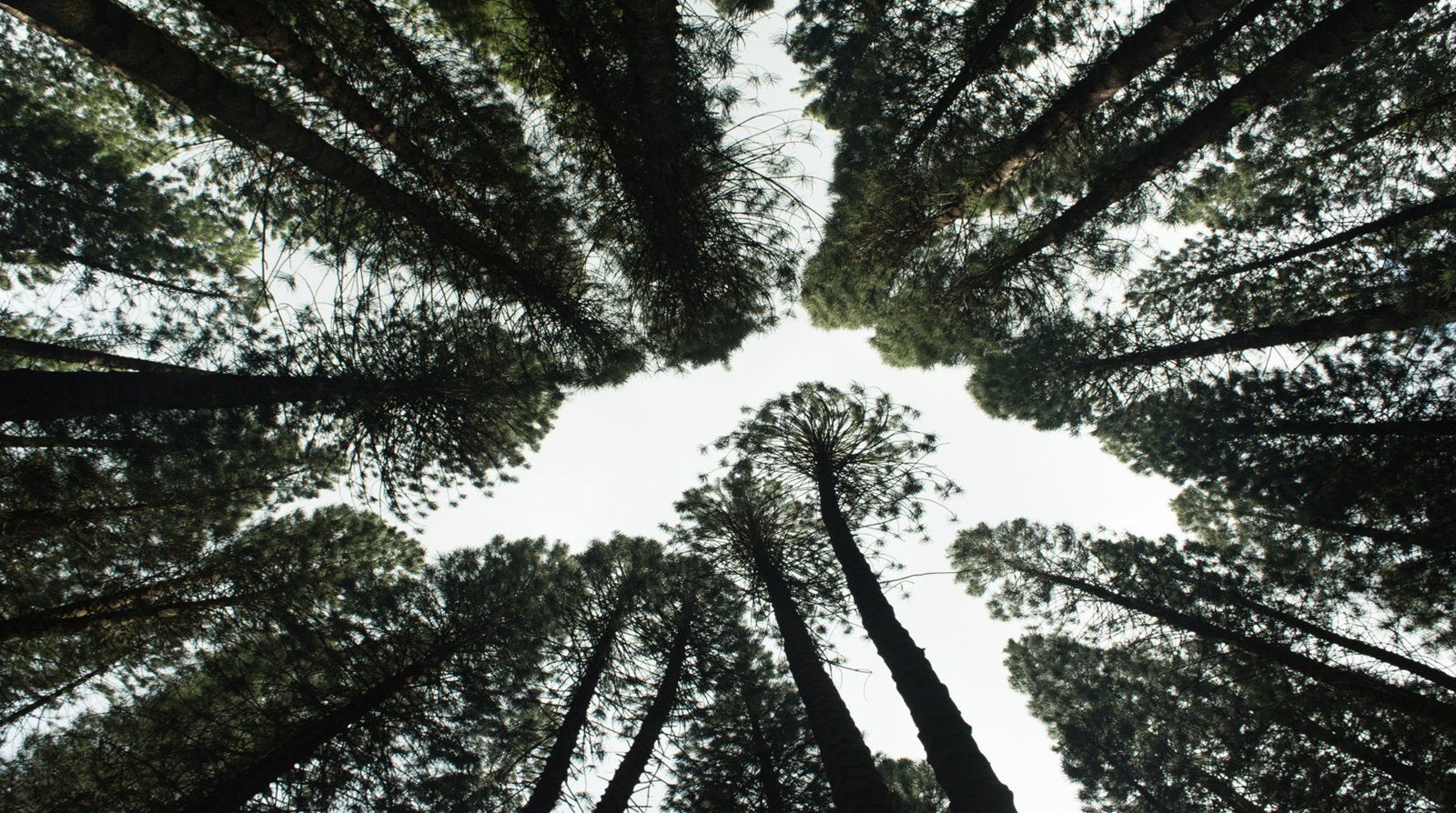 Looking up through the canopy of a forest